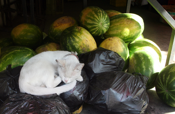Sleeping Valparaiso Cat with Watermelons