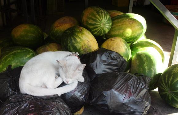 Sleeping Valparaiso Cat with Watermelons